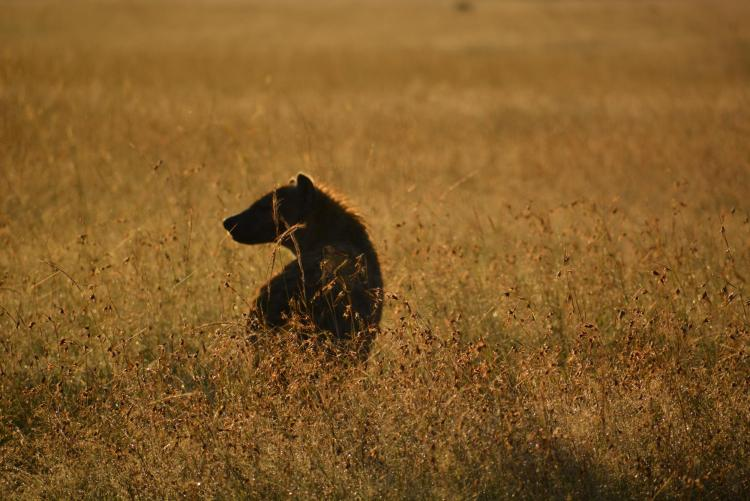 Lone hyena in the plains