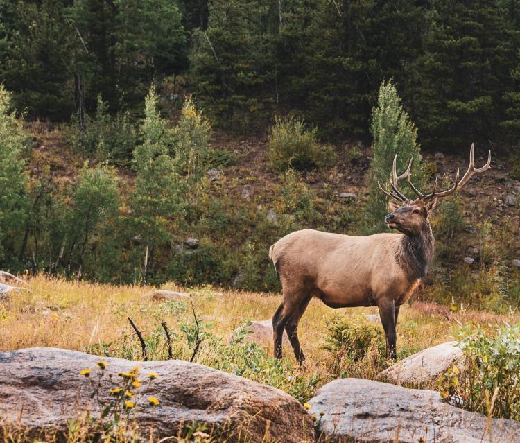 A male elk stands in a forest clearing.