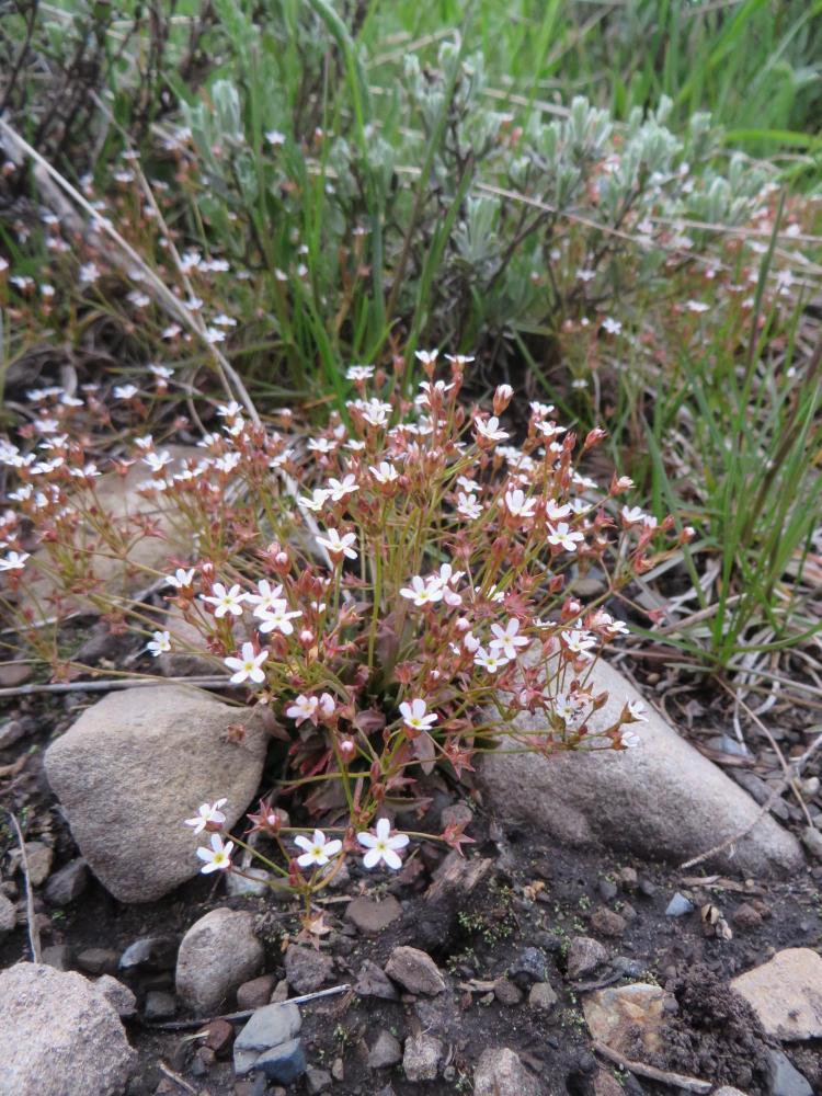 Northern rock jasmine