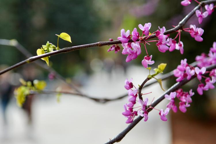 Close-up of pink flowering tree on campus