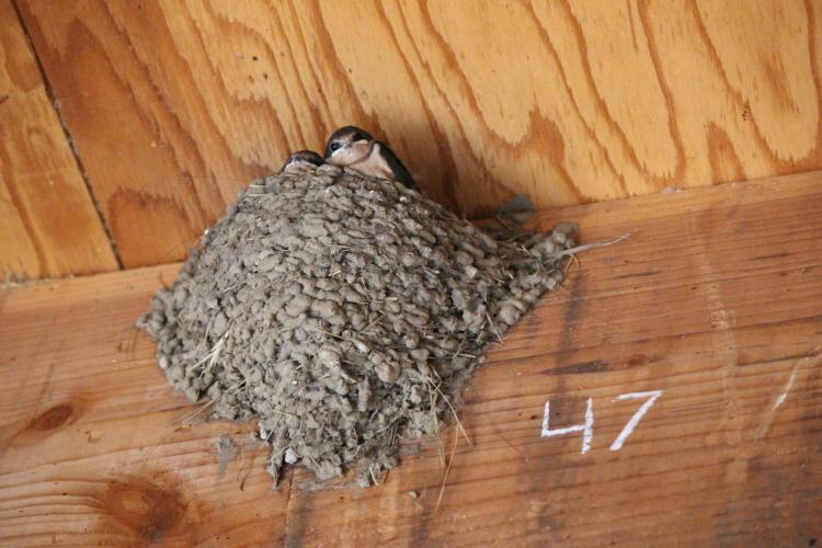 Barn swallows hiding in nest