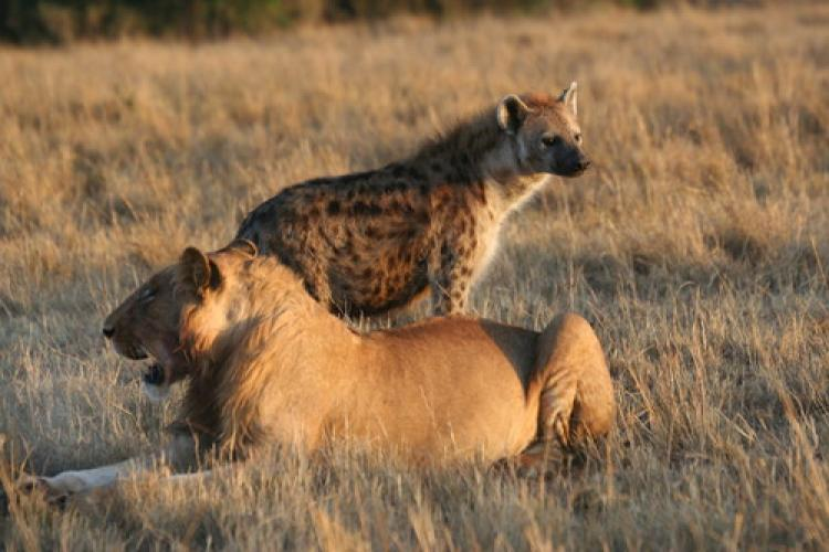 A subadult male lion and a spotted hyena in Kenya's Masai Mara