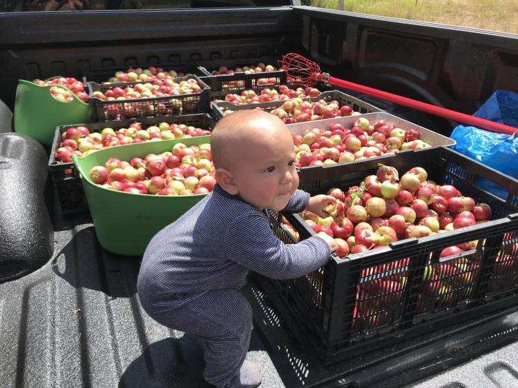 Baby plays near several bushels of apples