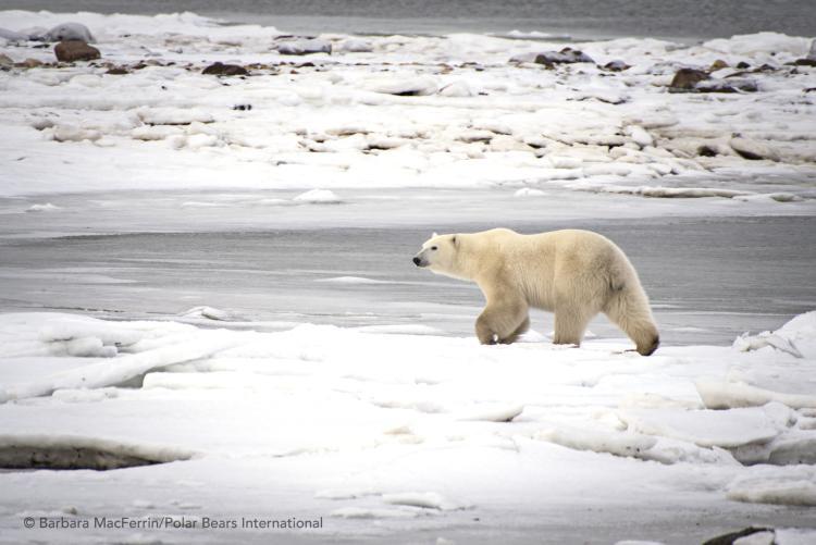 Polar bear walks across tundra