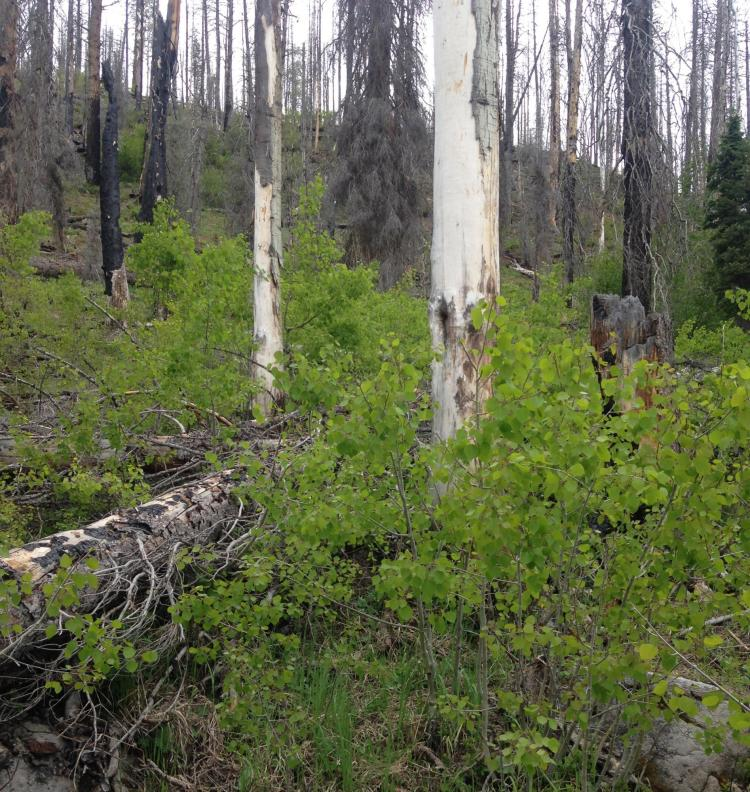 Aspen trees regrowing