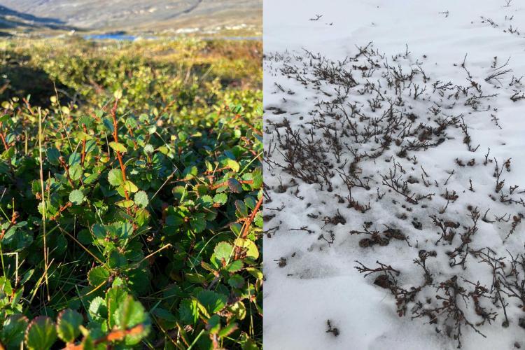 Summer and winter dwarf birch
