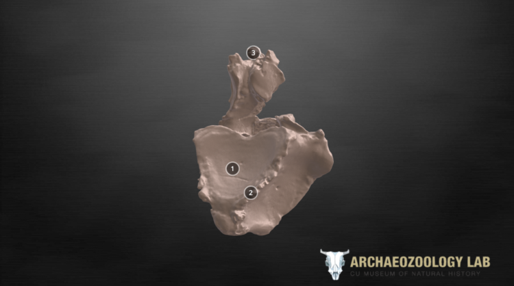 Screenshot of a 3D scan of a horse back bone