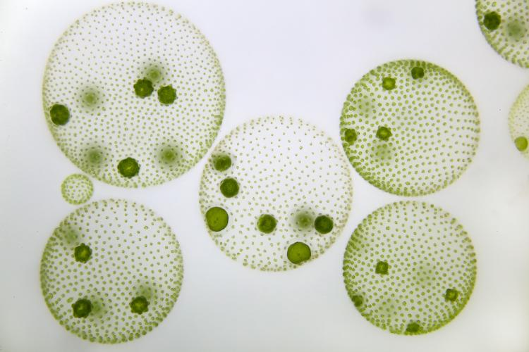 Several colonies of Volvox shaped like spheres