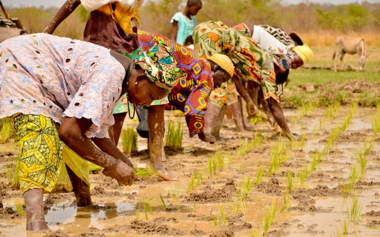 Women working in the rice fields in Gambia