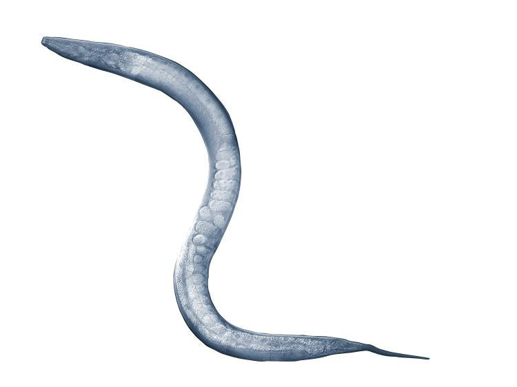 A micrograph of a roundworm.
