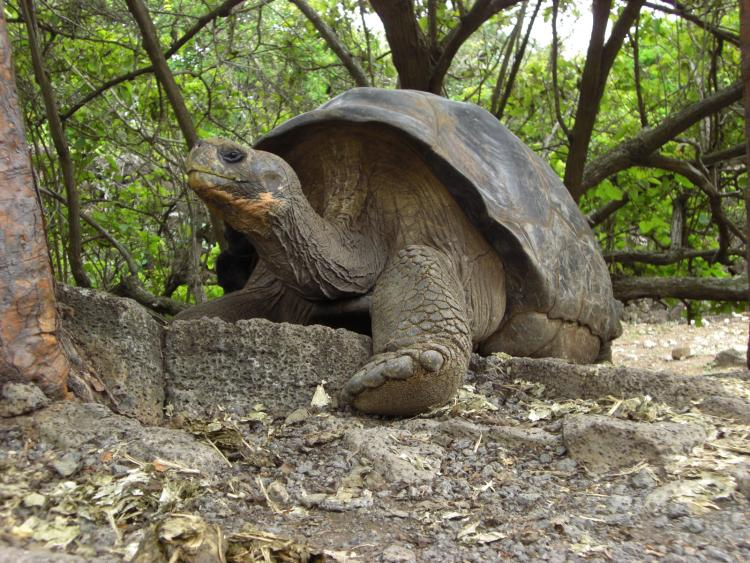 a galapagos tortoise