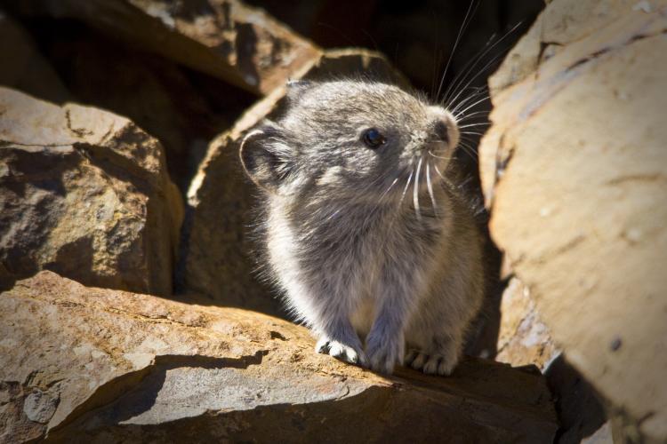 collared pika in a rocky habitat