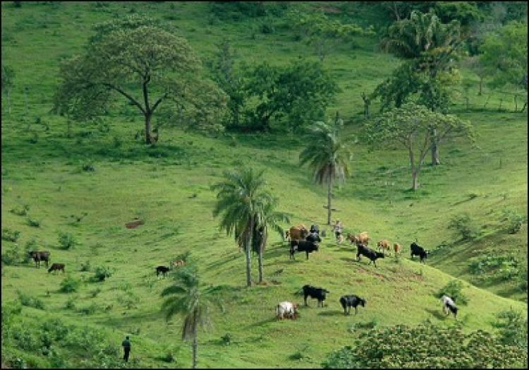 cows grazing near samaipata, bolivia