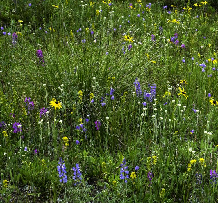 a subalpine meadow with wildflowers