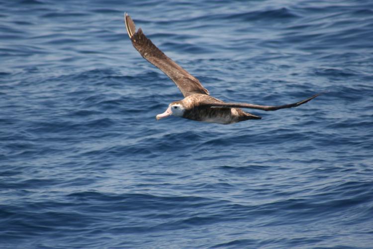 An albatross in flight