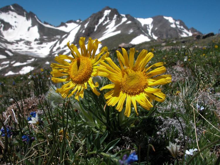 Yellow wildflowers blooming in forefront of Arikaree Peak and Arikaree Glacier.