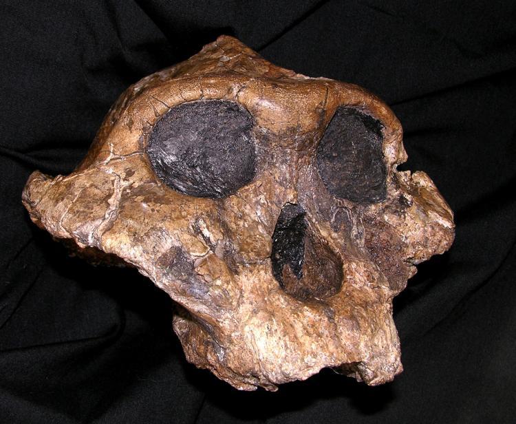 Skull of Paranthropus boisei.