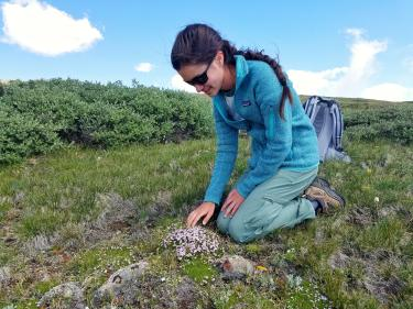 Student Grace Kendziorski studies mountain plant commonly known as moss campion