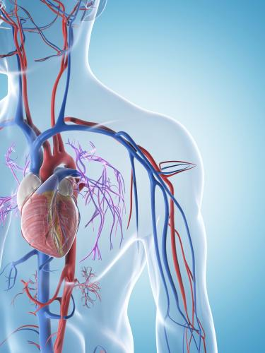 An illustration of the arterial system in the human body.