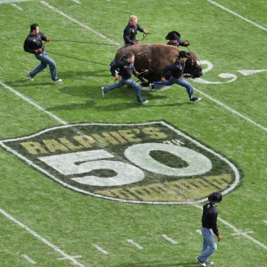 Ralphie stampedes onto Folsom Field in celebration of her 50th anniversary
