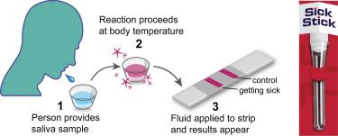 Person provides saliva sample; reaction proceeds at body temperature; fluid applied to strip and results appear.