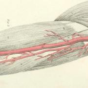arteries