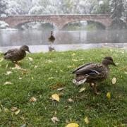 Ducks take a break on land next to Varsity Lake.