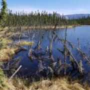 A forest sinks into a thawed permafrost lake.