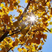 sun peaking through golden Aspen leaves