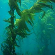 Kelp forests seen in the Pacific Ocean