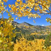 Golden Aspen trees frame mountains