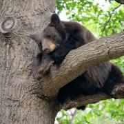 Black bear in a tree west of the CU Boulder campus