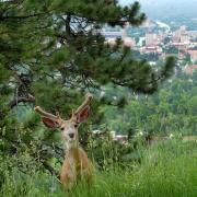A deer in the hills overlooking Boulder.