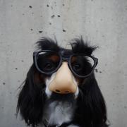 Dog wearing novelty glasses.