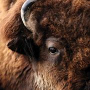 Close-up image of a buffalo