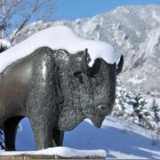 Winter snow on a bronze statue of Ralphie, CU Boulder's  mascot.