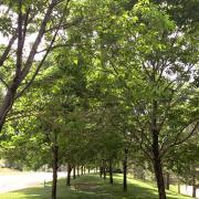 Two rows of ash trees on CU Boulder campus
