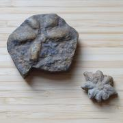 Two fossils lay out on a table