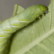 Green caterpillar eating a green leaf