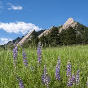 Flatirons from Chatauqua in the summer with flowers in the foreground