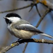 A collage of chickadee images