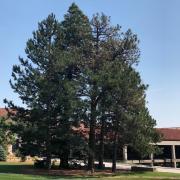 CU Boulder conifer trees
