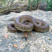 Native Colorado snake