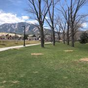 Double row of infected cottonwood trees on Main Campus