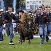 Ralphie V runs at the CU vs Arizona game during Family Weekend