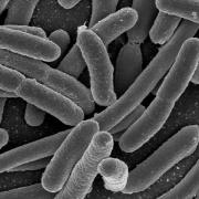 Bacteria present in the human gut as seen under a microscope.