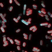 fluorescent bacteria