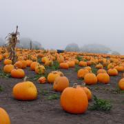 Spooky pumpkin patch