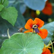 Two bees land on orange flowers