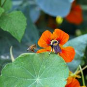 Bees scramble for the last of summer blooms at a community garden in Denver